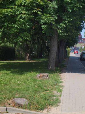 Kasztanowce zasłaniały widok wyjeżdzającym autom z uliczki przy ul. Bankowej