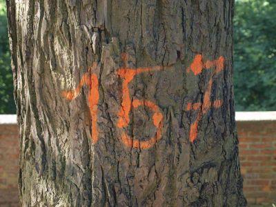 Ile drzew planowanych jest do wycinki? Co najmniej 157?