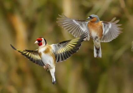 Ptaszki Szczygiel Zieba Lot