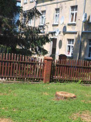 Obok gabinetu lekarskiego przy ul. Piłsudskiego rósł świerk srebrny (kłujący)